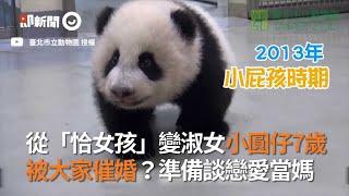 貓熊圓仔在台灣滿7歲成長經歷回顧...從女孩變淑女 到被催婚當媽|台北市立動物園|2020