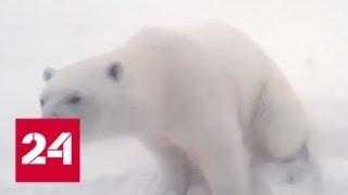Белые медведи оккупировали людские поселки: ЧС на архипелаге «Новая Земля»