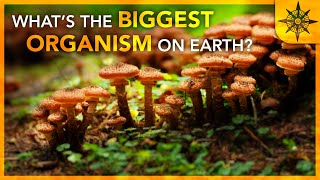 The Biggest Organism On Earth