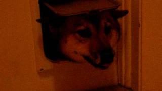 ROYCE THE SHIBA INU DOG STUCK IN THE CAT DOOR