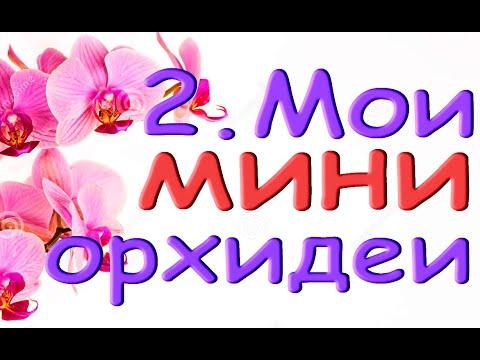 2.Мои ОРХИДЕИ МИНИ + фото цветения.