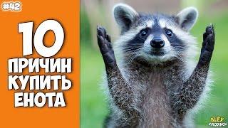 10 причин завести Енота - Интересные факты!