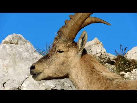Alpski kozorog (Capra ibex) na Malem Draškem vrhu