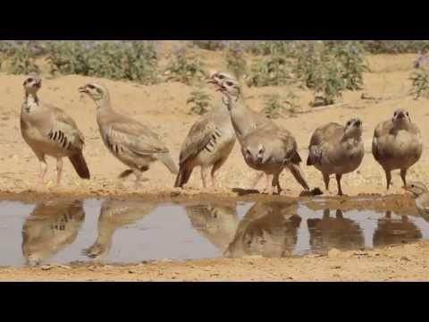 ציפורי ארצנו רוחצות בשלולית במדבר
