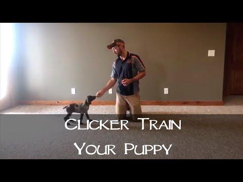 Clicker Training Your New Puppy - Part 1 - Upland Bird Dog Training