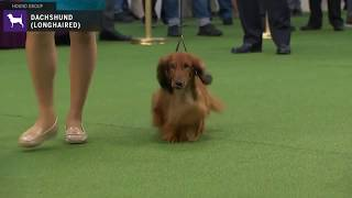 Dachshunds Longhaired | Breed Judging 2020