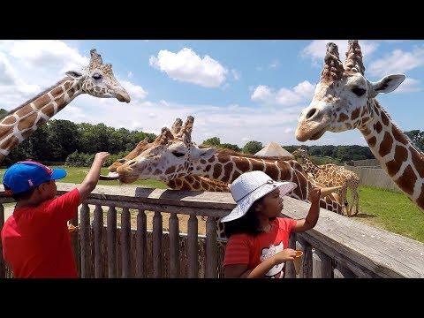 Feeding Giraffes on Safari Tour   Six Flags Great Adventure   New Jersey