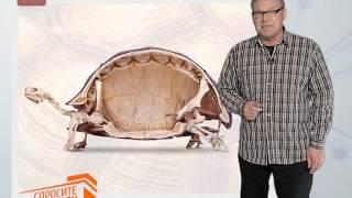 Спросите дядю Вову. Как растет панцирь черепахи?