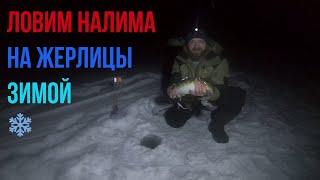 Как поймать налима зимой на жерлицы