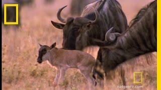Wildebeest Migration | National Geographic