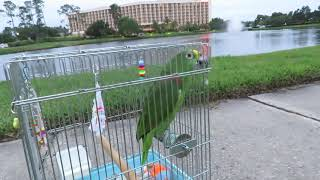Freedom the Parrot Enjoys Watching Mallard Duck with Downy Feathers at Lake Lorri by Staybridge Suit