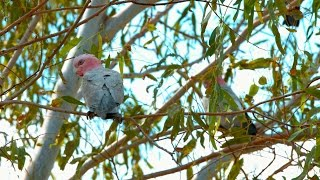 Galahs and Parrots of Pine Creek Australia in 4K