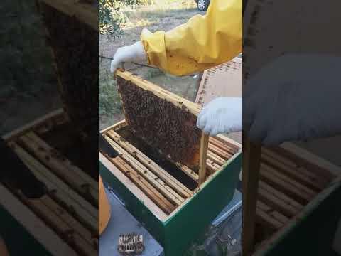 Punture di api per il trattamento delle articolazioni