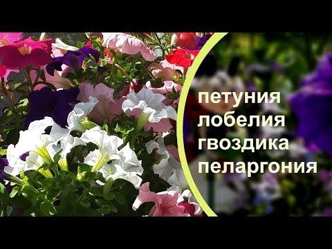 Цветение петуний на моем БАЛКОНЕ. Обязательно посадите у себя такие цветы!