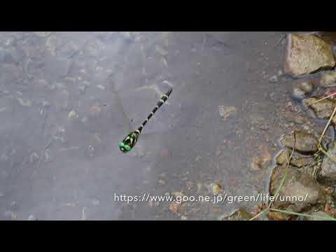 オニヤンマのホバリングをTG-5のスローモーションで撮影
