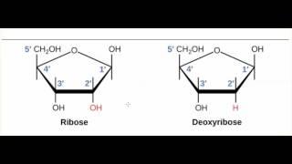 Carbohydrates - Ribose V. Deoxyribose