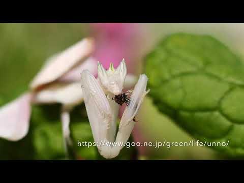 ハナカマキリ、ハチを捕らえる Flower mantis catching BEE