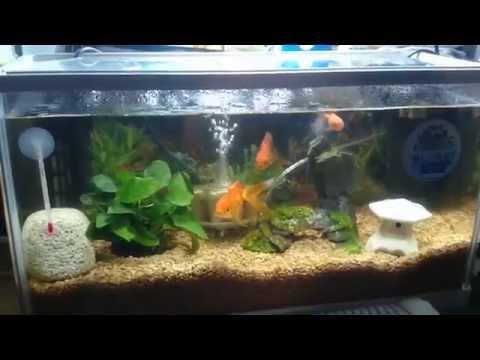 金魚の水槽(和金,琉金)
