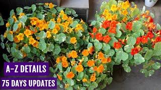 How to Grow Nasturtium from Seeds n Get MAXIMUM Flowers