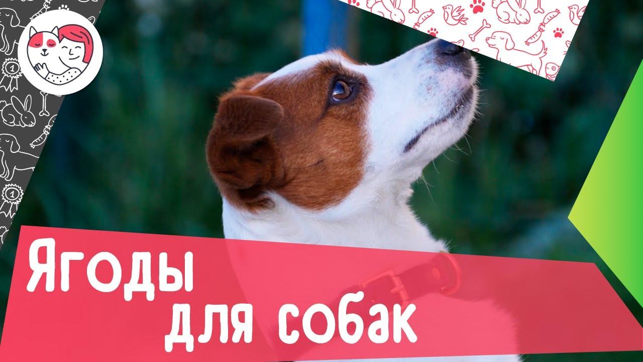 4 вида ягод, полезных для собак