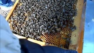 Пчеловодство с нуля ,от пакета до семьи.