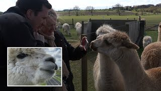 video: Watch:Alpaca farm hosts Zoom parties with animals after coronavirus forces closure