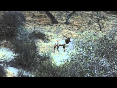 Oak Stone Outfitters - Tule Elk