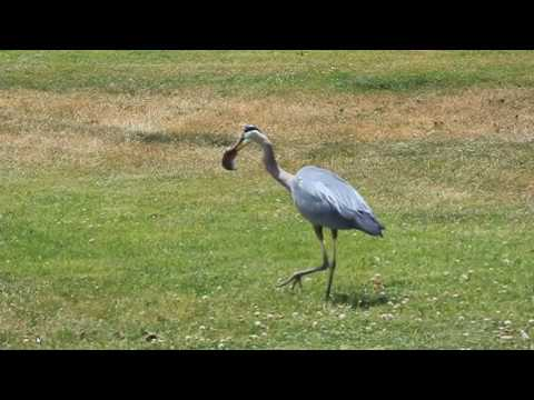 Blue Heron grabs up Ground Mole and swallows him whole!