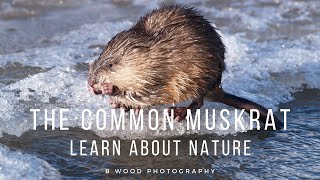 The Common Muskrat   Learn about Nature 📔