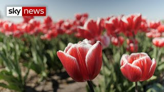 Coronavirus: Flowers left to rot amid European farming crisis