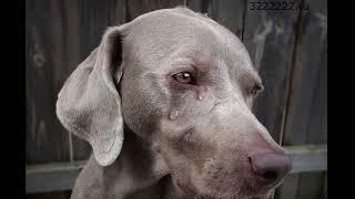 Почему собаки плачут