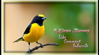 AUDIO SIMULASI LOMBA LOVEBIRD