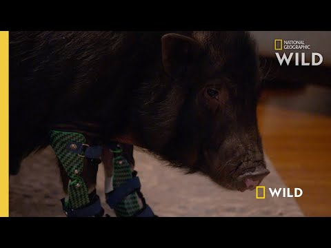 A Pig Gets Four Leg Braces | Wizard of Paws