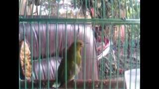 preview picture of video 'cucak ijo banjarmasin'