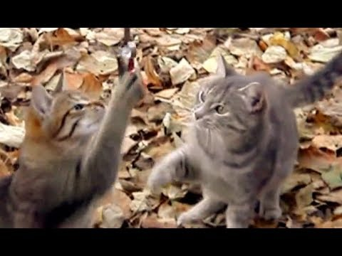 Too cute cats playing Funny Cats dancing. Amazing cats playing funny  with a fish videos