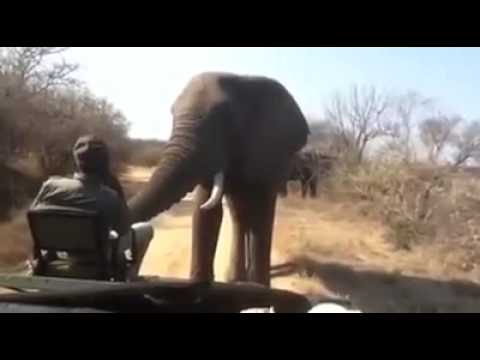 Facing Off with a Massive Elephant in the Wild