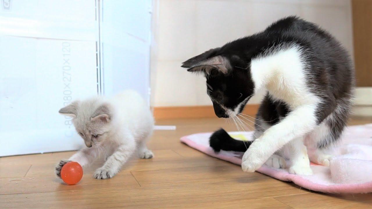 【生後37日】子猫のために色んなお手本を見せてくれる先輩猫【保護子猫】