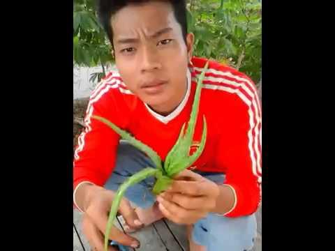 Video Cara menanam tanaman lidah buaya