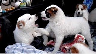 Маленькие злючки. Щенки АЛАБАЯ. The Alaba puppies. Odessa.