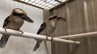 Beak Week! - Eagle Owl & Kookaburra