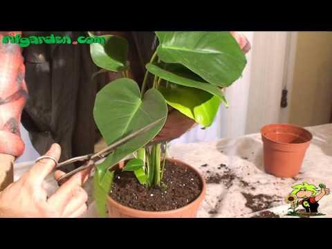 Large-leaf plants