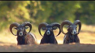 Муфлоны. Неожиданный удар. Mouflon. Unexpected attack.