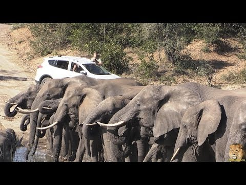 Download Massive Elephant Herd Roadblock. Cute Babies At End Of Video HD Mp4 3GP Video and MP3