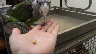 Parrot Prefers Sunflower Seed or Pellet?