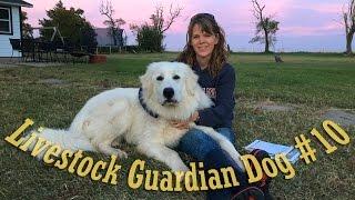 "Livestock Guardian Dog Series - Video #10 - ""The Barking"""
