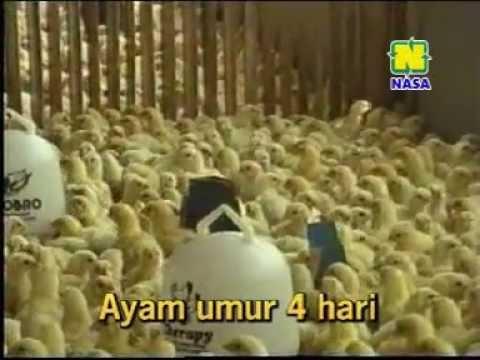 Video Cara Sukses Budidaya Ayam Pedaging Broiler 081225999901