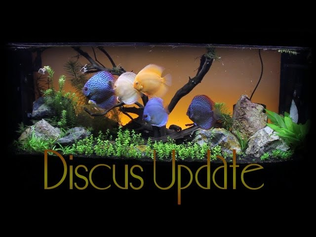 Update on the 75 Gallon Discus Aquarium ~ Amber's Aquariums