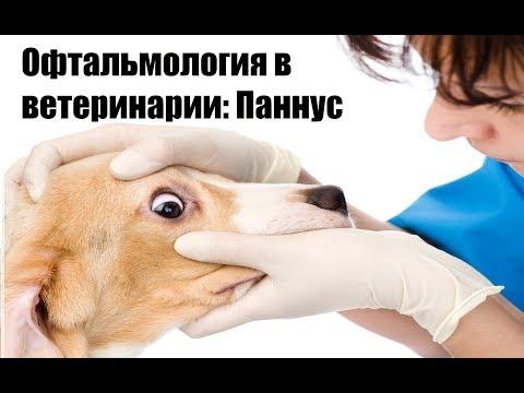 Офтальмология в ветеринарии: Паннус
