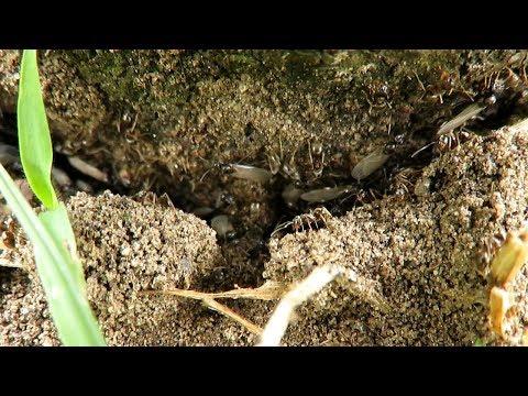 van-e látásuk a hangyáknak hogyan befolyásolja a skarlát a látást