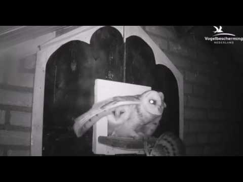 Barn Owl Chick Falls off Board - 10.07.17